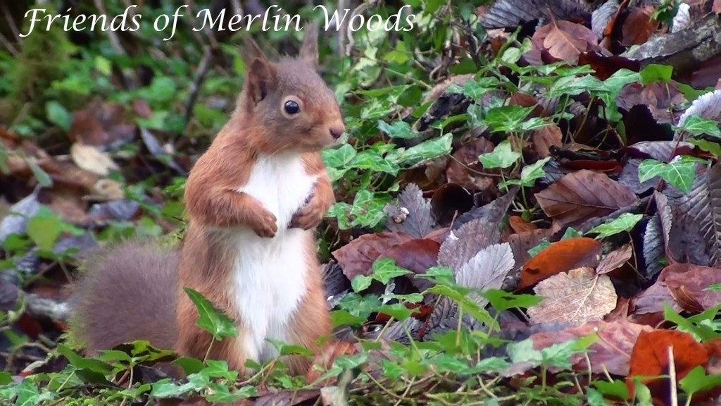 red squirrel 04